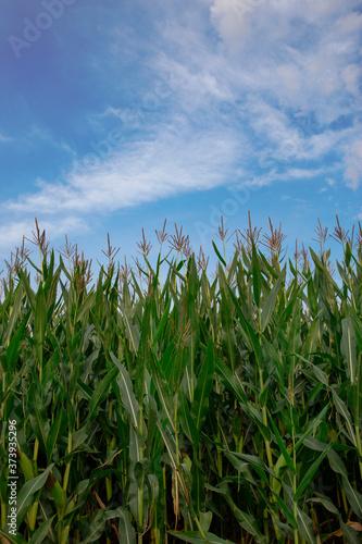 Fototapeta kukurydza pole field niebo sky village corn maize lato summer wieś とうもろこし obraz