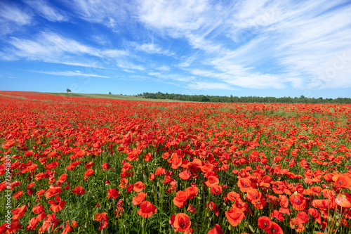 Beautiful summer day over poppy field
