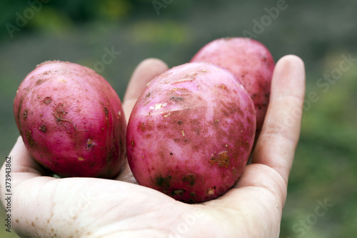 Fototapeta agricultural field where red potatoes