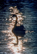 Cygne Noir Lac Monger