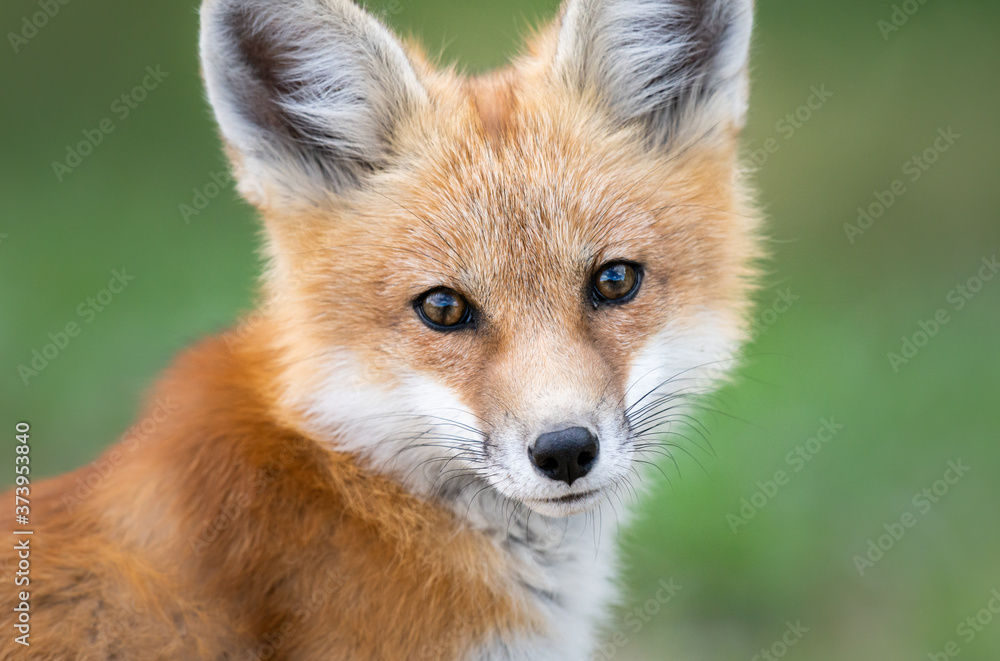 Red fox kit in the wild