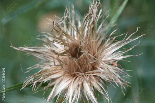 Fototapeta zasuszony w naturze kwiat, oset obraz