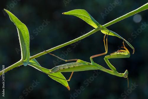 Photo Close up of pair of Beautiful European mantis ( Mantis religiosa )