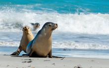Seal Bay, Kangaroo Island, South Australia.