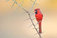 Northern Cardinal (Cardinalis ...