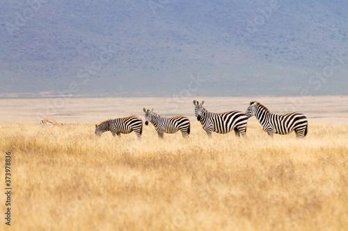 Zebras on Ngorongoro Conservation Area crater, Tanzania - 373978836