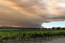 Wine Country Conflagration - Wide View Of Smoke Emanating From The Walbridge Fire Behind One Of Many Vineyards In The Area. Santa Rosa, California, USA