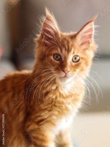 Fototapeta Maine coon młody kot obraz