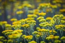 Immortelle Yellow Flowers Clos...