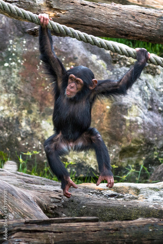 Photo Young Chimpanzee swinging from a rope.