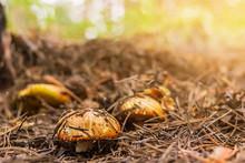 Mushrooms Boletus, Suillus Luteus, Grows In Fallen Needles In The Coniferous Forest, Front Selective Focus