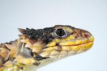 Giant Girdled Lizard / Riesen-Gürtelschweif (Smaug Giganteus) / (Cordylus Giganteus)