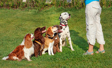 A Group Of Purebred Dogs Having Training Lesson