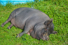 Happy Black Pet Mini Kune Kune Pig Laying And Sunbathing In The Green Grass
