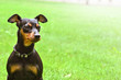 canvas print picture - Dog doberman pinscher dwarf animal friend