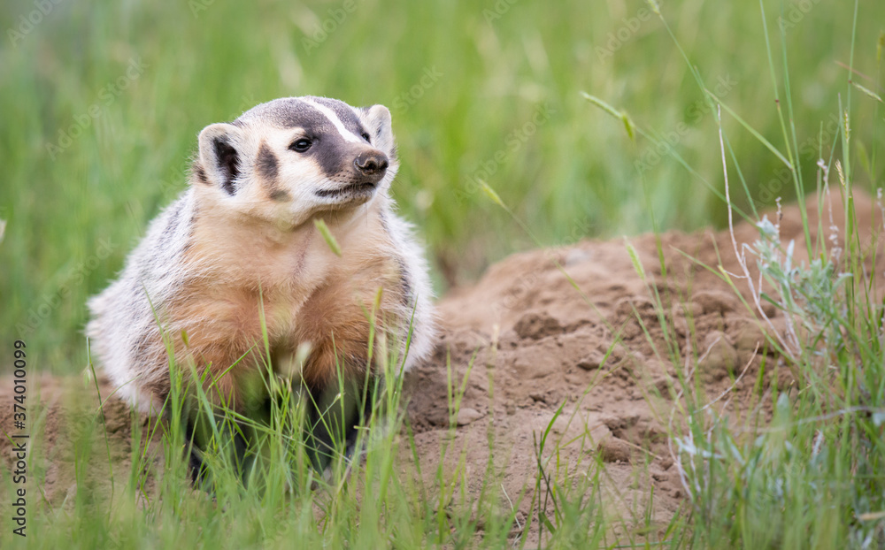 Badger young