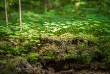 Clover Plants Growing On Decom...