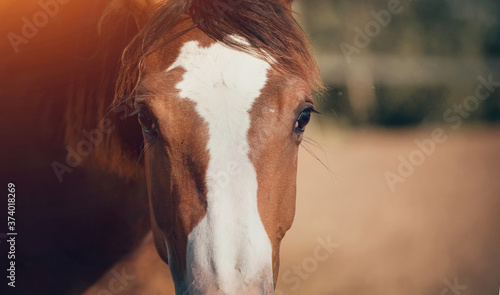 Fotografiet Portrait of a young sports horse