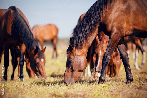 Fotografie, Obraz A herd of horses grazing on the field.