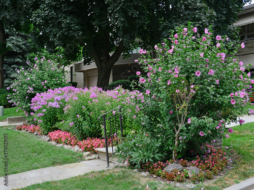 Photo front garden with Rose of Sharon bush in bloom