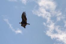 Condor Con En Pleno Vuelo Con Sus Alas Extendidas
