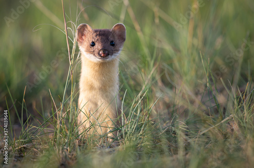 Long tailed weasel in the Canadian prairies Fototapet