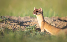 Long Tailed Weasel In The Cana...