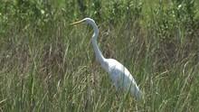 Great Egret Standing In Tall Coastal Wetland Grass