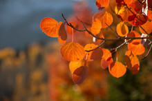 Orange Aspen Leaves, Backlit, ...