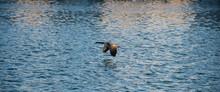 Kanadagans (Branta Canadensis) Im Flug über Den Phoenixsee