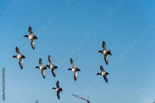 Fotografie, Obraz Reiherenten im Flug (Aythya fuligula)