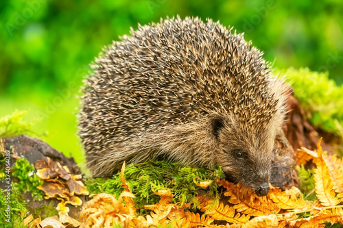 Photo Hedgehog