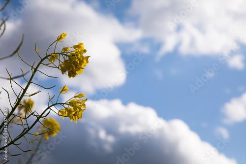 青空を背景に菜の花が咲く 春 Canvas Print