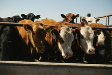 Vacas Hereford Comiendo En Fee...