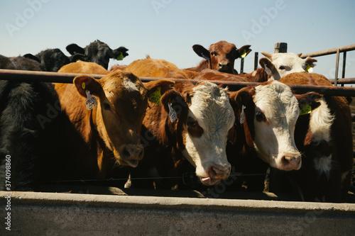 Vacas Hereford comiendo en feedlot en campo argentino Wallpaper Mural