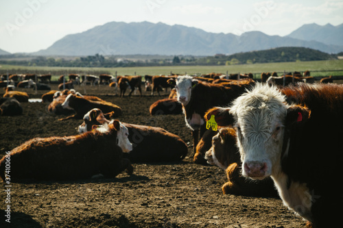 Foto Vacas Hereford comiendo en feedlot en campo argentino