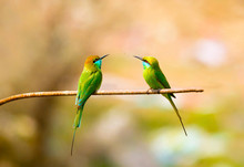 Little Green Bee Eater  In Wildlife Of Pakistan