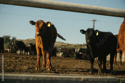 Photo Vacas Hereford comiendo en feedlot en campo argentino