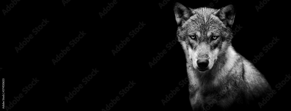 Fototapeta Template of a grey wolf with a black background