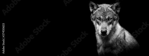 Fotografia Template of a grey wolf with a black background