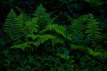 Fern Bracken In The Woods