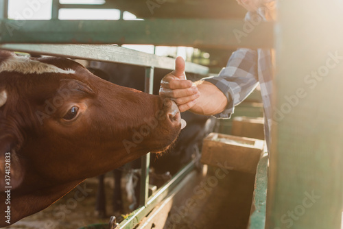 Foto cropped view of rancher touching nose of brown cow on dairy farm, selective focu