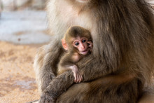 Japanese Macaque In Arashiyama, Kyoto. A Mother Monkey Is Holding A Baby Monkey.