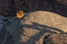 Hyrax On A Rock At The Augrabies Waterfalls