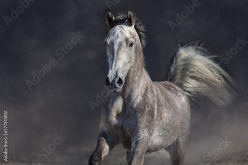 Fototapeta Grey arabian horse run free on desert dust obraz