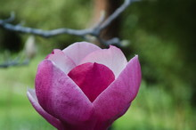 Flowering Chinese Magnolia Blooms, These Beauties  Shine Thier Elegnace In The Fall With The Exterior Of Round Bloom Having  Deep Pink Petals, Interior Is White And Brown. Simplistic Elegance