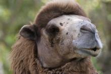 Dromedary Camel, Camelus Drome...