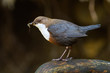 White-throated dipper, cinclus cinclus, standing on stone in wet nature. Small bird with dark fur holding insect in beak on rock. Little animal catching feed on riverbank.