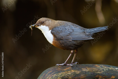 Fototapeta White-throated dipper, cinclus cinclus, standing on stone in wet nature. Small bird with dark fur holding insect in beak on rock. Little animal catching feed on riverbank. obraz