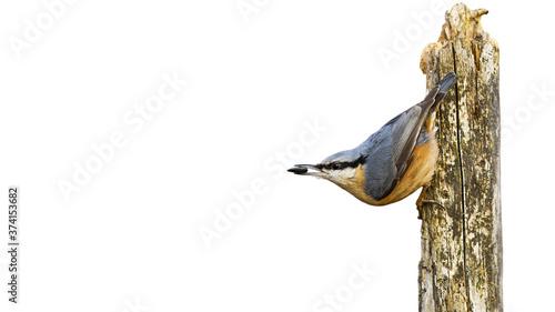 Eurasian nuthatch, sitta europaea, sitting on wood isolated on white background Fototapete